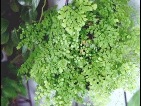 Mondini plantas como cultivar avenca youtube - Plantas para estanques de jardin ...