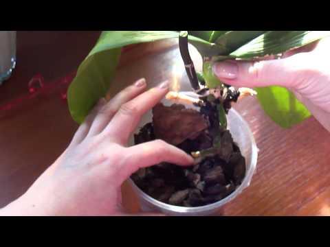 Витаминный коктейль для орхидей. Второй день после использования. №2