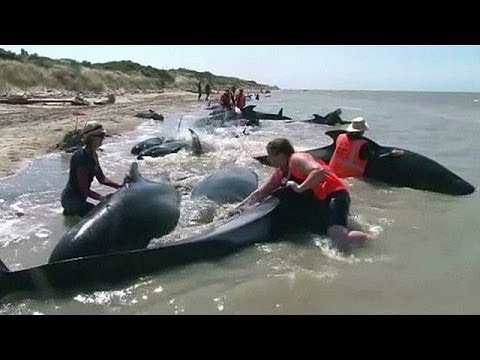 BBC Learning English: Video Words in the News: New Zealand whales (22nd January 2014)