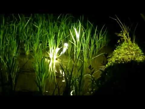 Berburu ruak ruak malam,(kubu hunting) ep;lanjutan-awesome bird trap/catch bird