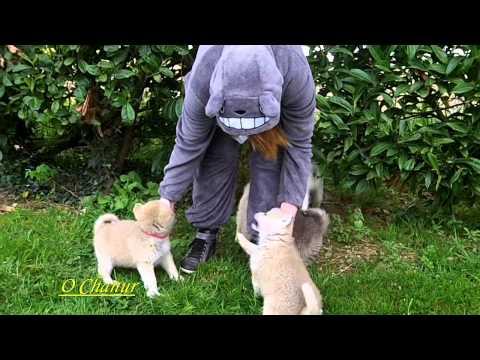 Akita Inu: Ryu's 9 puppies (5) - les 9 chiots de Ryu avec Totoro (O Chanur Kennel 19/04/2014)