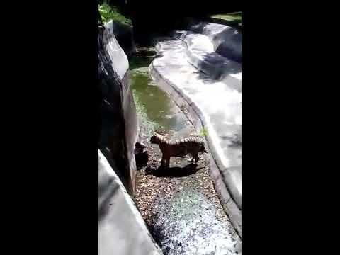 Tiger ne kiya man ka shikar