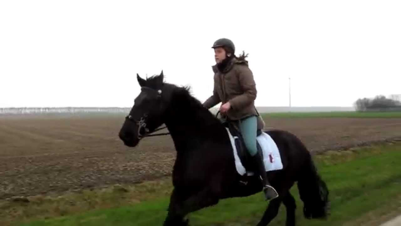 Friesian Horse Galloping Galloping Friesian