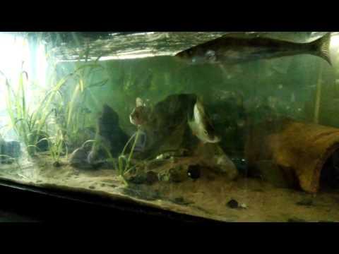 видео судак в аквариуме