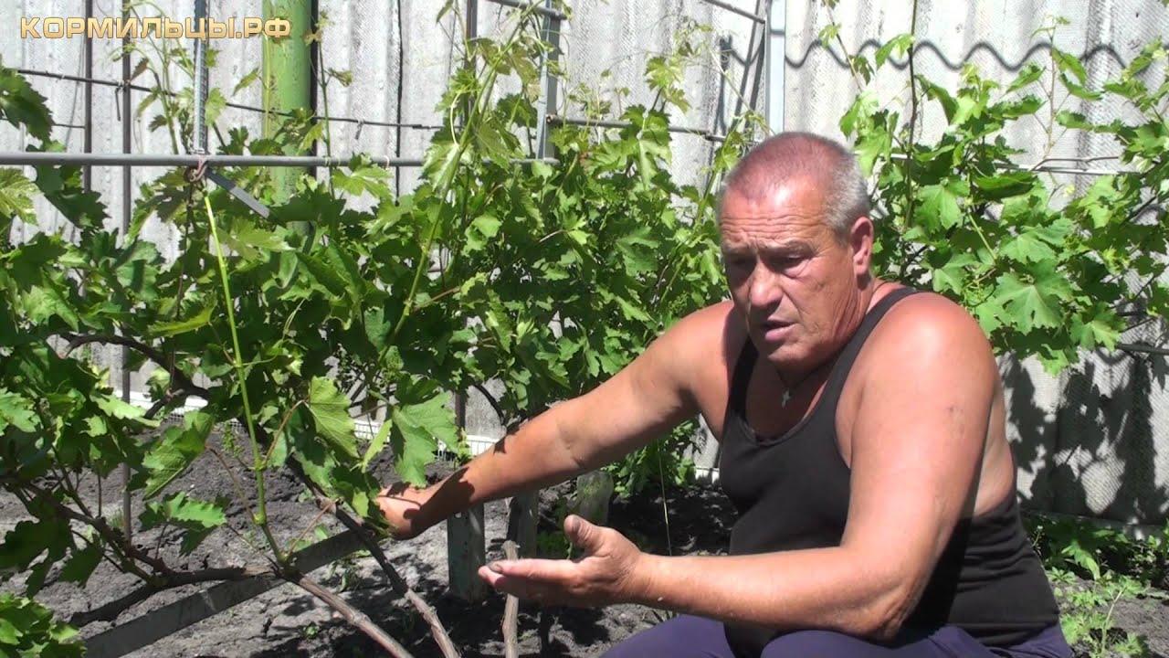 Виноград технология выращивания 61