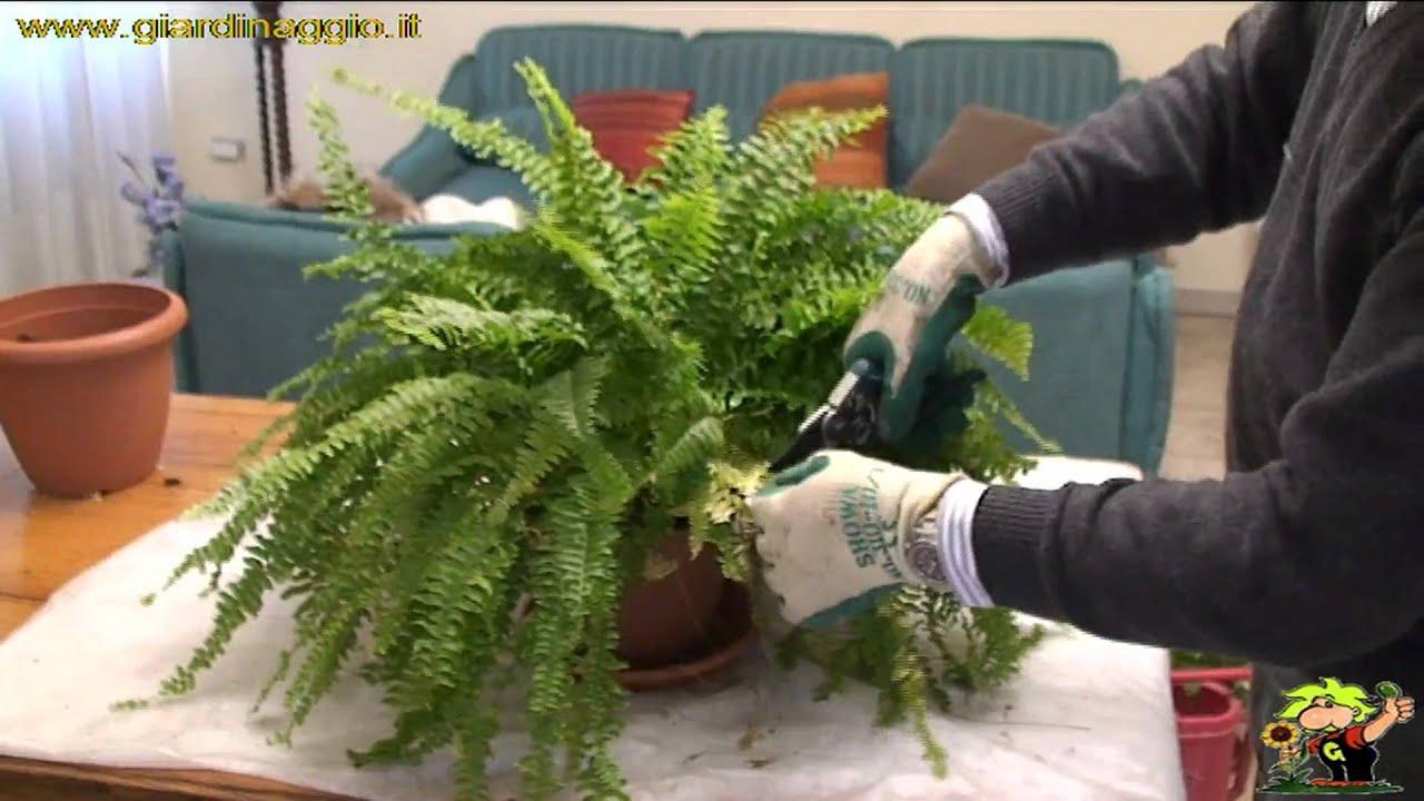 Coltivare delle felci in appartamento youtube - Orchidee da esterno ...