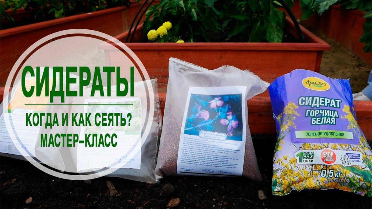 Как сажать семена горчицы для оздоровления огорода 68