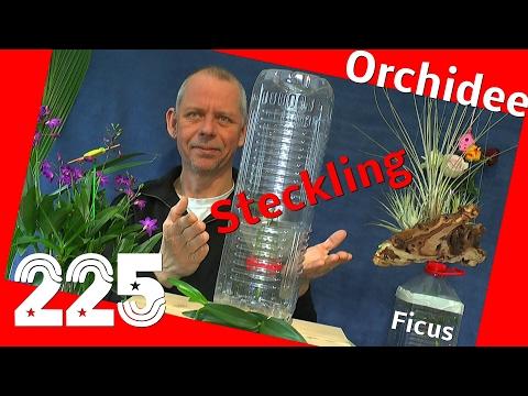 Orchidee durch Stecklinge vermehren, die Bambus Orchidee und Ficus Update
