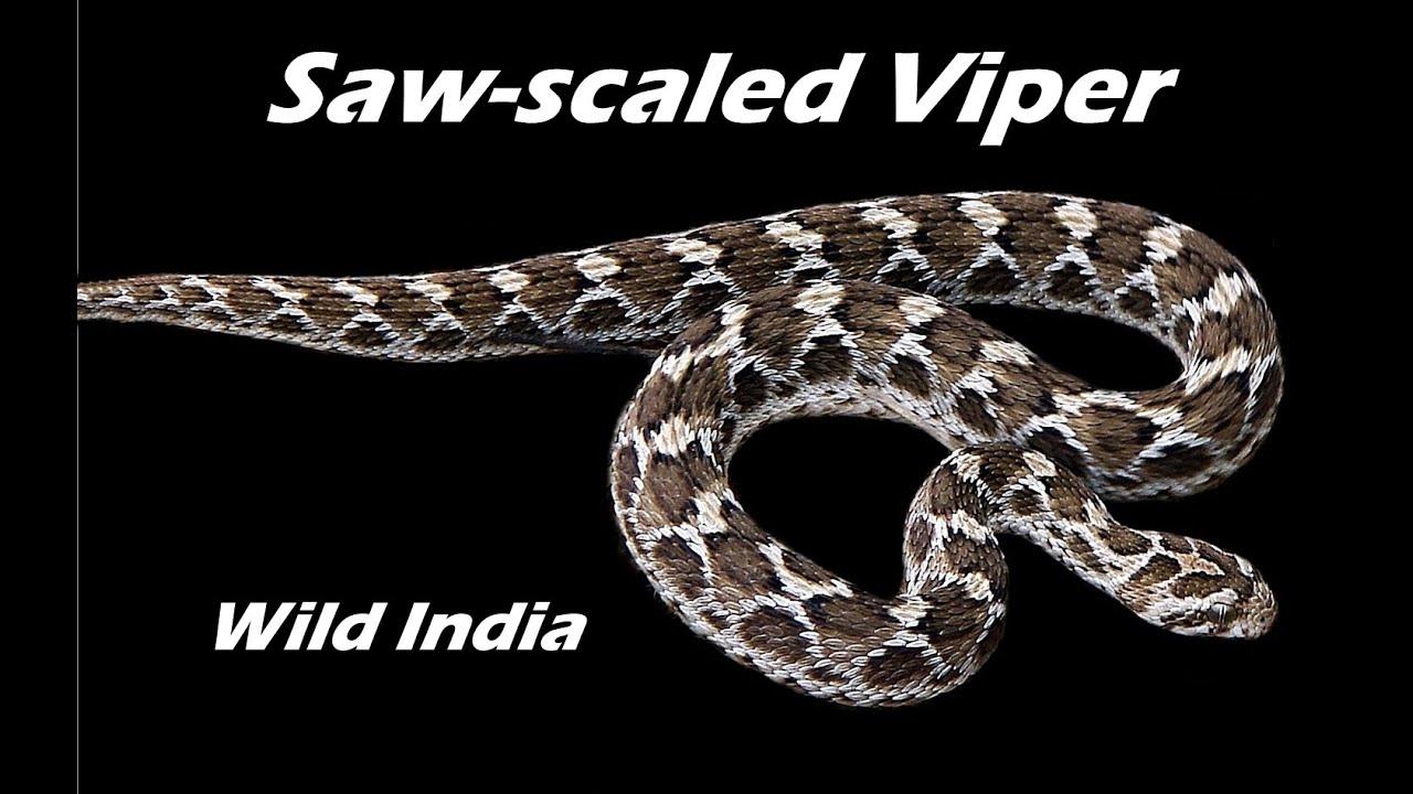 Snake Venom Antiserum  VINS BioProducts Limited
