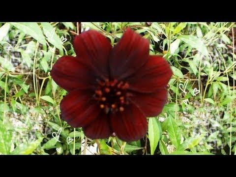 ✿ La FLEUR à l'odeur de CHOCOLAT !! ✿ [Vlog de Loka #42]