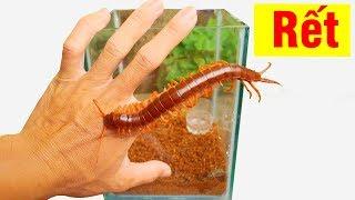 Làm bể nuôi rết đơn giản, cách vô hiệu hóa và cho rết ăn (How to neutralize and feed centipedes)