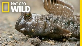 A Mudskipper Battle | South Africa