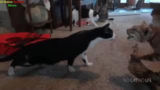 Các pha hú hồn hài hước của boss mèo   Clip Chó Mèo