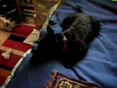 Scottish Terrier, Mac Video