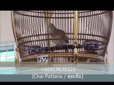 Perkutut, Merbok, Zebra dove, นกเขาชวา(CP Farm@Pattani) [MV.8]