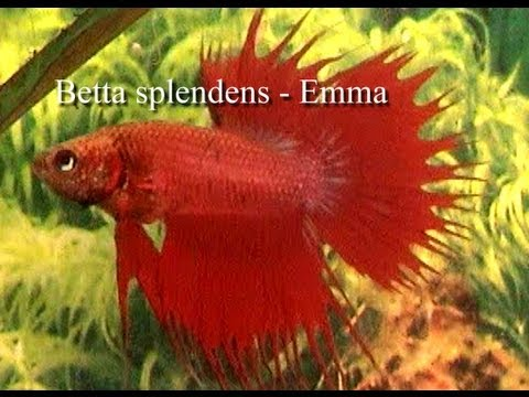 Kampffisch betta splendens emma youtube for Kampffisch betta splendens