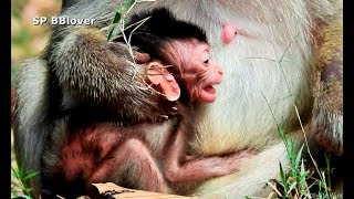 Baby Monkey Too Weak Now - SP BBlover - Not More Like Other Baby