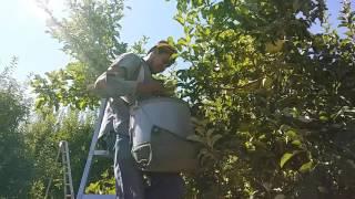 Wenatchee Washington Armando lele piscando Manzana