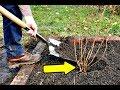 Сделайте это осенью в сентябре с чёрной смородиной для мощного урожая на следующий год!