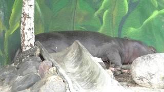 Бегемотик появился в Московском зоопарке