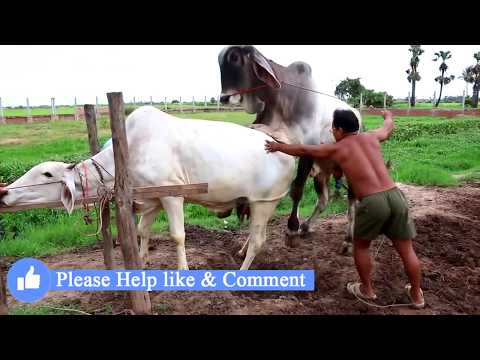 Live Stream: How To Breds Cows in cambodia - Amazing man breeds cows ការបង្កាត់ពូជសត្វគោ Wild animal thumbnail