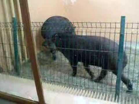 Tapir's mating ritual