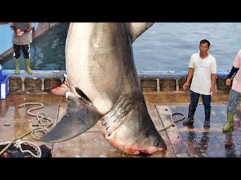 5 of the WORLD'S BIGGEST GREAT WHITE SHARKS ever caught!