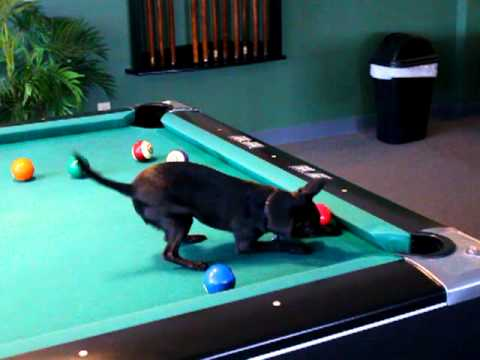 Chihuahua Dog Playing Pool - Amadeus