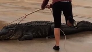 800-Pound Alligator Found in Shopping Center
