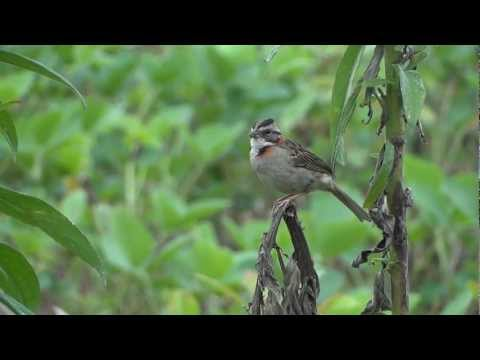 Canto Do Tico-tico - Singing Bird Zonotrichia Capensis video