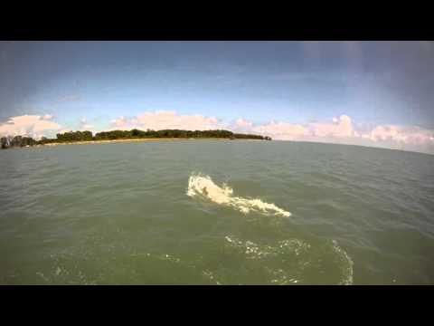 Miami Fishing Charters when a Hammerhead Shark Eats Tarpon