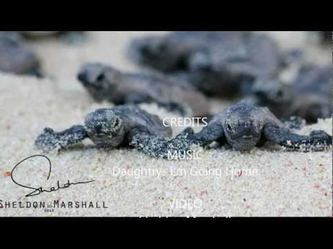 Baby Turtles March to the Sea...