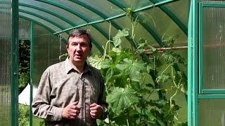 Как правильно сформировать кусты  огурца в теплице