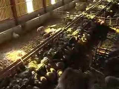 Sechage foin en grange