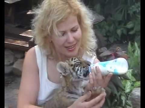 Таиланд . У тигренка отличный аппетит.