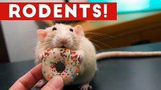 Incredible Rat & Rodent Videos of 2016 Weekly Compilation | Funny Pet Videos