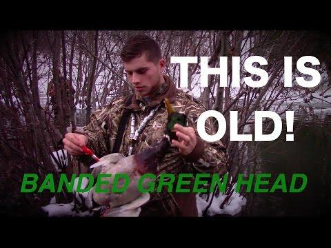 REALLY OLD Banded Drake Mallard!!!