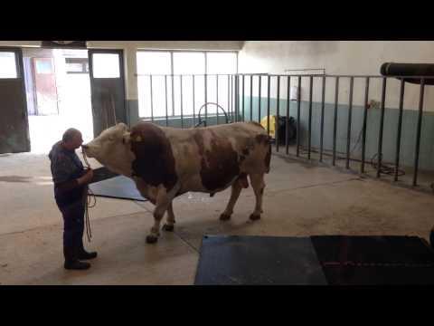 Helderberg - Bayern Genetik Bull
