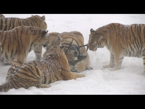 Chubby Siberian Tigers Hunt Electronic Bird of Prey