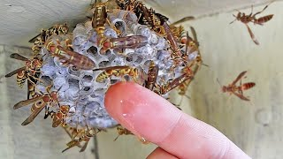 Catching Wasps with Barehand - i got stung - Yellow Jackets as Pets