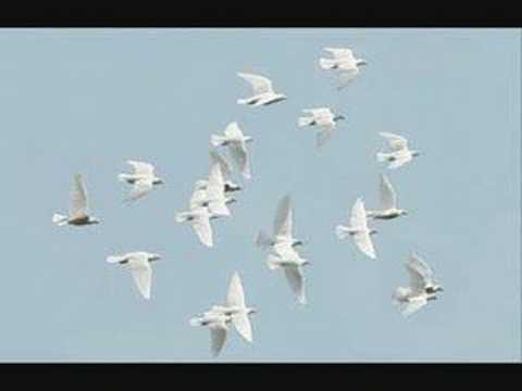 3 weiße Tauben