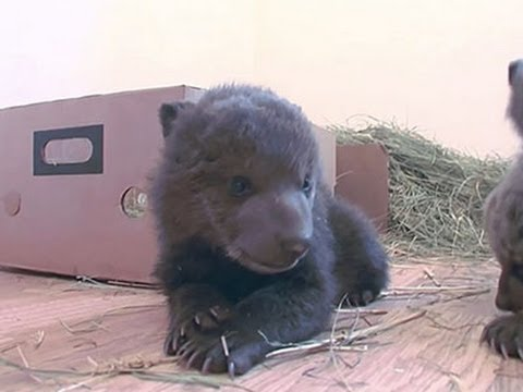 Raw: Brown Bear Cubs Rescued in Kosovo