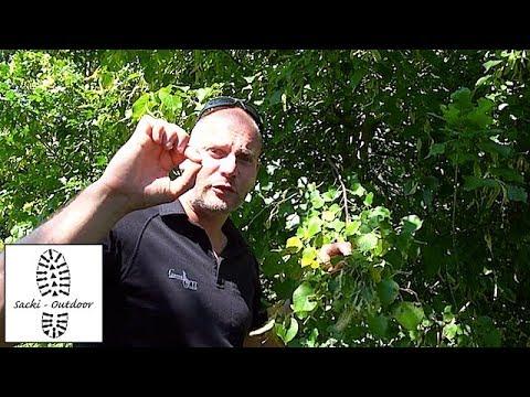 Sacki-Survival 30 - Essbare Früchte der Linde