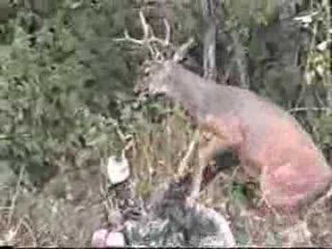 pozor na jelene (deer hunter)