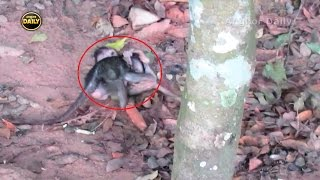 The Loosing Baby monkey  before he lost he argued with the other baby. (last video) Part 95