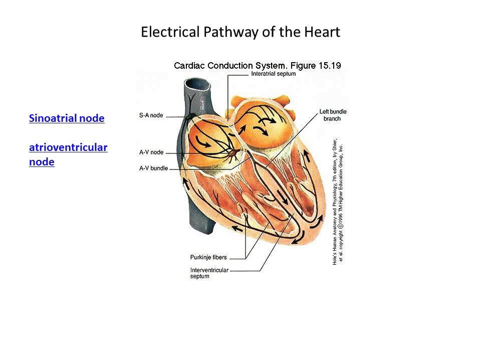 mammalian heart Cardiac muscle (heart muscle) is one of the three major types of muscle which becomes a multicellular syncytium during mammalian embryonic development.