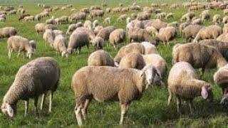 Sheep farming pakistan/goat farming