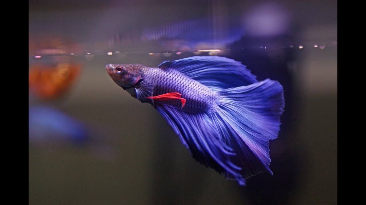 How to care for betta fish youtube for Betta fish care water