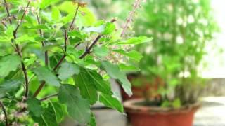 Health Benefits and Medicinal Uses of Tulsi Basil   Ocimum tenuiflorum
