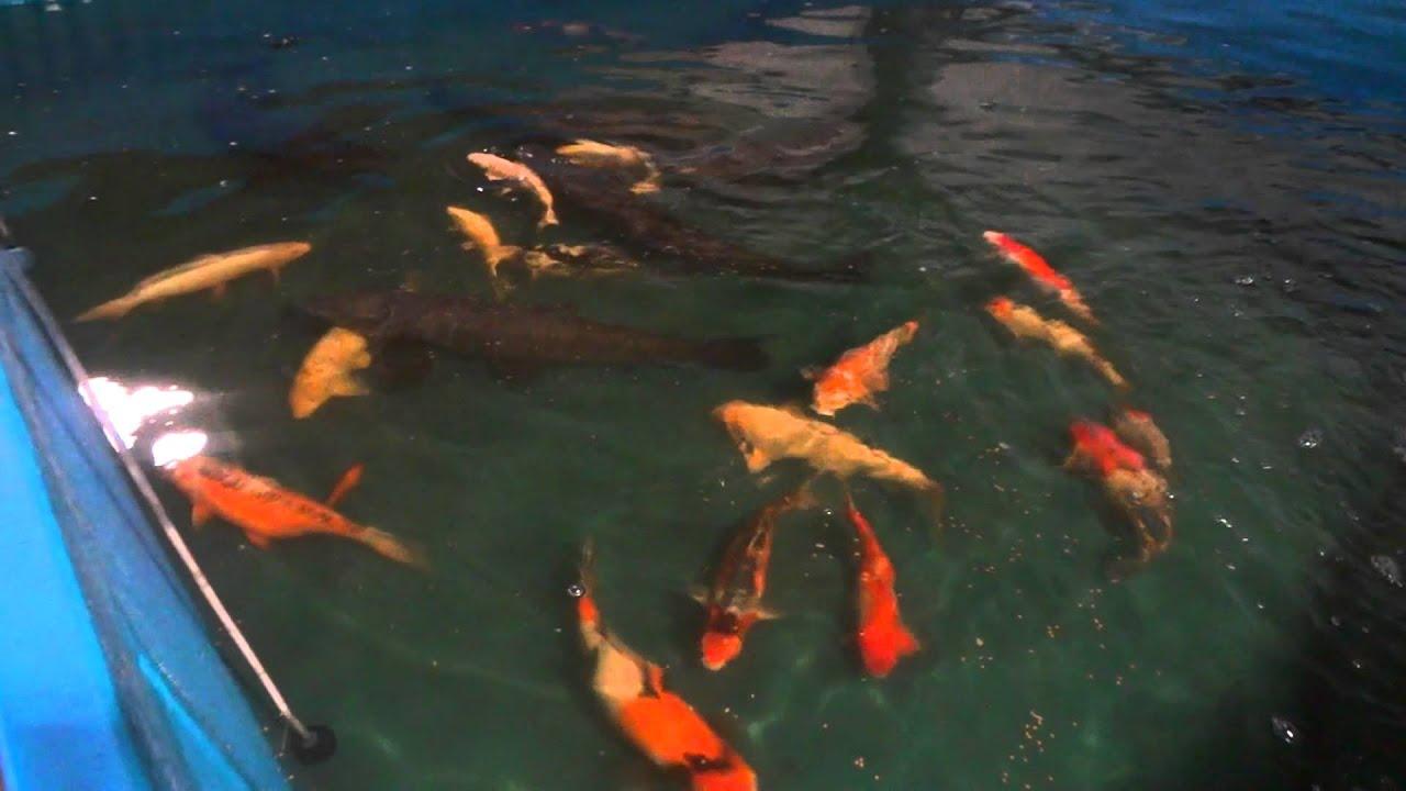 Doron 39 s koi koi carp black carp breeding in israel youtube for Black koi carp